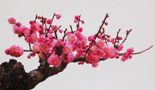 梅花——梅州市市花