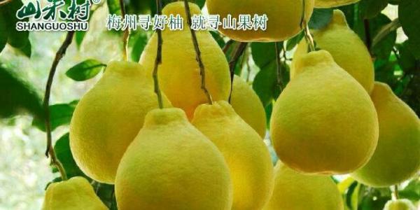 """梅州""""山果树""""金柚喜迎2017国庆、中秋佳节"""